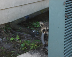 Raccoon removal and control Alexandria VA
