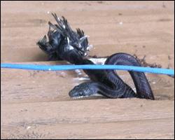 Snake control in Alexandria VA