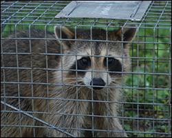 Alexandria wildlife trapping